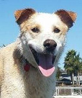 Australian Cattle Dog/Labrador Retriever Mix Dog for adoption in Pt. Richmond, California - NIKO