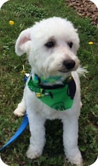 Bichon Frise Mix Dog for adoption in Cat Spring, Texas - Howie