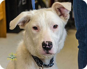 Shepherd (Unknown Type) Mix Puppy for adoption in Middlebury, Connecticut - Folk