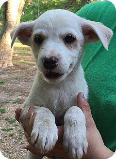 Hound (Unknown Type)/Terrier (Unknown Type, Medium) Mix Puppy for adoption in Starkville, Mississippi - Marcy