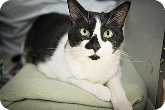 Domestic Shorthair Cat for adoption in New York, New York - Sawyer