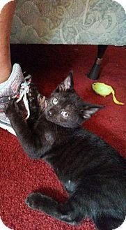 Domestic Shorthair Kitten for adoption in Cincinnati, Ohio - Beast