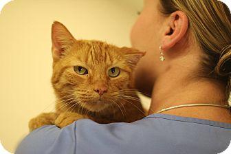 Domestic Shorthair Cat for adoption in New Prague, Minnesota - Emil