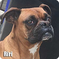 Adopt A Pet :: RIRI - Encino, CA