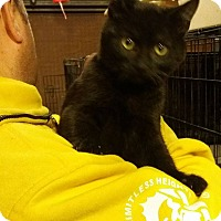 Domestic Shorthair Kitten for adoption in Lancaster, California - Stymie
