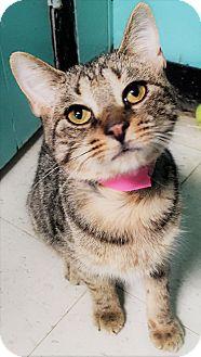 Domestic Shorthair Kitten for adoption in Monroe, Michigan - Mina