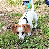 Adopt A Pet :: Peanut - Tavares, FL