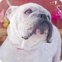 Adopt A Pet :: Phoebe Scarlet - SPECIAL NEEDS - Northville, MI