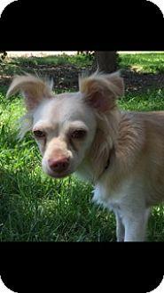 Pomeranian/Chihuahua Mix Dog for adoption in Elk Grove, California - BECK