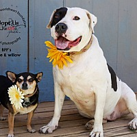 Adopt A Pet :: Willow & Turtle - Toluca Lake, CA