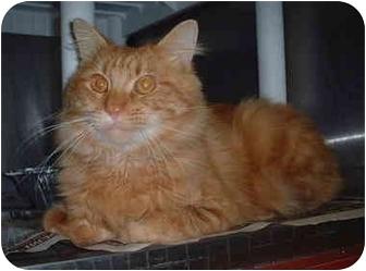 Domestic Mediumhair Cat for adoption in Honesdale, Pennsylvania - Mufasa