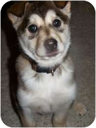 Husky Mix Dog for adoption in Wasilla, Alaska - Koko