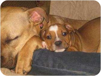 Pit Bull Terrier/Boxer Mix Puppy for adoption in South Plainfield, New Jersey - B.B.