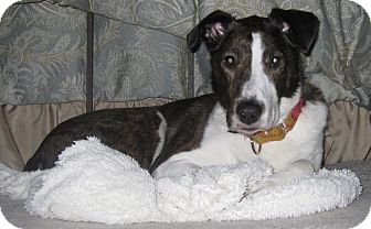 Collie Mix Dog for adoption in Minnetonka, Minnesota - Sophie