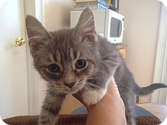 Domestic Longhair Kitten for adoption in Jersey City, New Jersey - Rocco