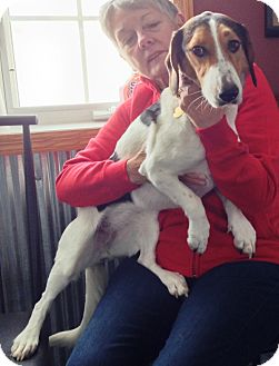 Beagle/Basset Hound Mix Dog for adoption in Osseo, Minnesota - Haddie