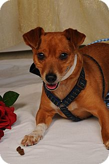 Terrier (Unknown Type, Small) Mix Dog for adoption in mishawaka, Indiana - Corndog