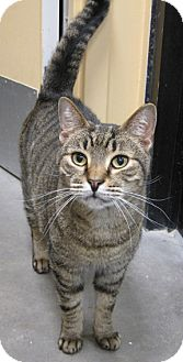 Domestic Shorthair Cat for adoption in San Leandro, California - Parker