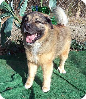Keeshond Mix Dog for adoption in Marietta, Georgia - ROCKO (R)