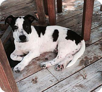 Basset Hound Mix Puppy for adoption in Sagaponack, New York - Colton