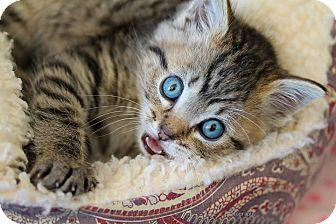 Domestic Shorthair Kitten for adoption in Rocklin, California - HAMBONE