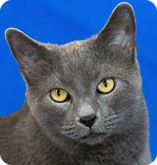 Domestic Shorthair Cat for adoption in Calgary, Alberta - Kal