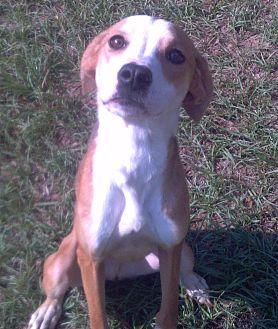Beagle/Boxer Mix Dog for adoption in Orange Lake, Florida - Benji