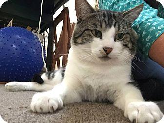 Domestic Shorthair Cat for adoption in San Jose, California - Oscar