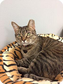 Domestic Shorthair Cat for adoption in Byron Center, Michigan - Tucker