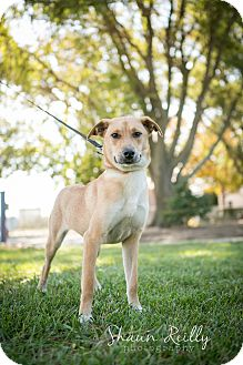 German Shepherd Dog/Labrador Retriever Mix Dog for adoption in Hammonton, New Jersey - Ariel