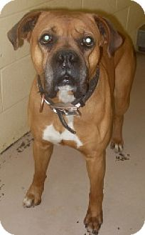 Boxer Dog for adoption in Brentwood, Tennessee - Kong