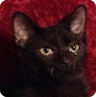Domestic Shorthair Kitten for adoption in Hillside, Illinois - Puma-6 MONTHS