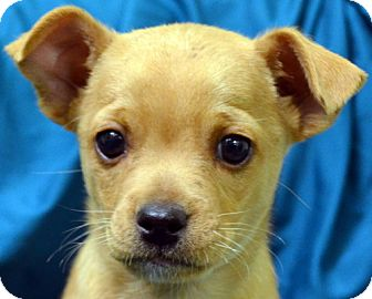 Chihuahua Mix Puppy for adoption in Erwin, Tennessee - Teddy