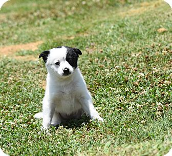 Pomeranian/Jack Russell Terrier Mix Puppy for adoption in Groton, Massachusetts - kimberly