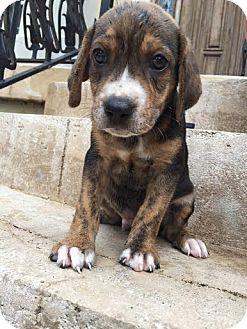 Beagle/Treeing Walker Coonhound Mix Puppy for adoption in Gallatin, Tennessee - Flagler
