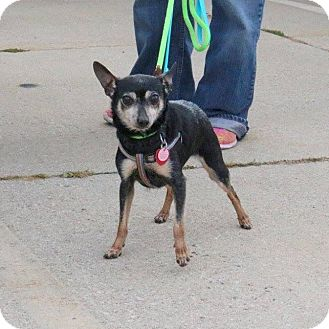 Chihuahua Mix Dog for adoption in Minneapolis, Minnesota - Peggy