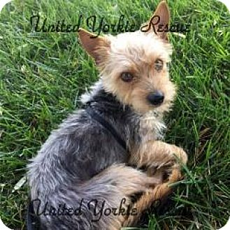 Yorkie, Yorkshire Terrier Dog for adoption in Visa, California - Munchkin