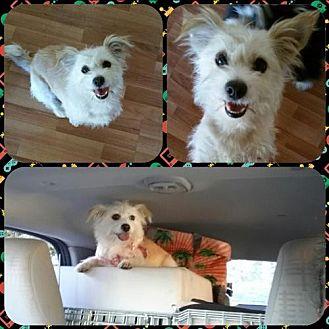 Cairn Terrier Mix Dog for adoption in Lancaster, California - Arleta