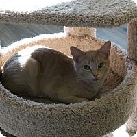 Adopt A Pet :: Dennis - Fountain Hills, AZ