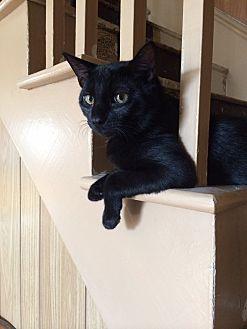 American Shorthair Cat for adoption in Hazleton, Pennsylvania - Hodor