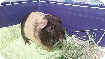 Guinea Pig for adoption in Medfield, Massachusetts - Gobbler