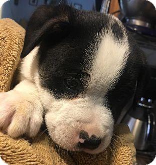 American Bulldog/Pointer Mix Puppy for adoption in Savannah, Georgia - Rocky