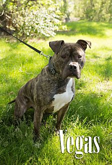 Boxer/American Staffordshire Terrier Mix Dog for adoption in Cheyenne, Wyoming - Vegas