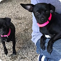 Adopt A Pet :: LUCY & ELOISE - bonded mama and daughter - Seattle, WA