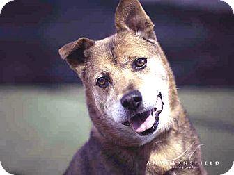 Shepherd (Unknown Type) Mix Dog for adoption in Vista, California - Ringo