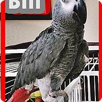 Adopt A Pet :: Bill - Tampa, FL