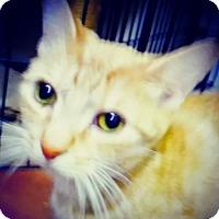 Adopt A Pet :: Goldilocks - Trevose, PA