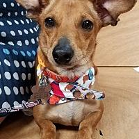 Adopt A Pet :: Paislee - Decatur, GA