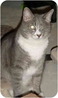 Domestic Shorthair Cat for adoption in Chesapeake, Virginia - Q-tip and Clops