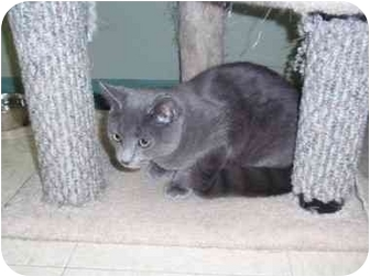 Russian Blue Cat for adoption in Houghton, Michigan - Elmer